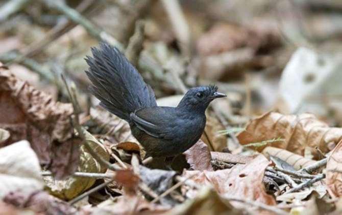 Редчайшая птица замечена вБразилии— Неуловимый Топаколо