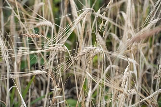 КНДР попросила у Российской Федерации 50 тыс. тонн пшеницы бесплатно
