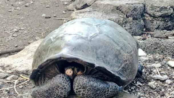 Черепаху извымершего 100 лет назад вида отыскали живой наГалапагосах
