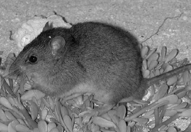 Австралия подтвердила вымирание рифовых крыс из-за глобального потепления
