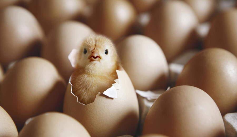 яйцо или курица