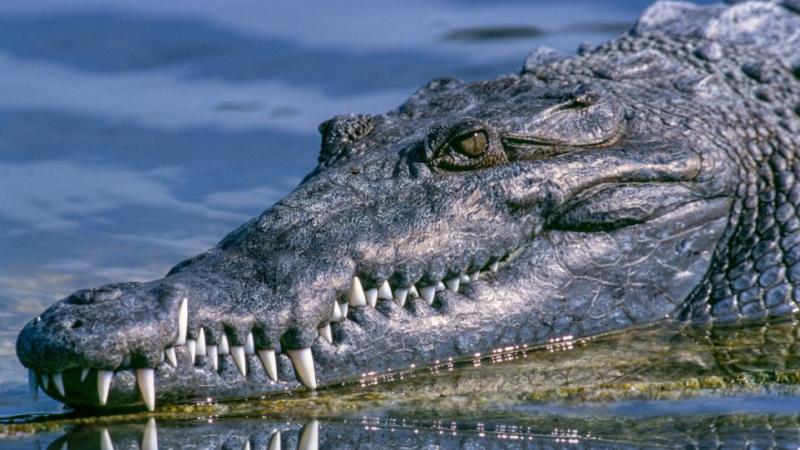 Еще один день во Флориде: гигантский аллигатор замечен на прогулке вокруг поля для гольфа